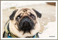Oprawiony plakat  Dog breed pug. Portrait of a pet