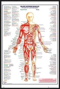 Oprawiony plakat Human Body - Major Anterior Muscles