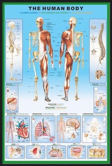 Plakat  The human body