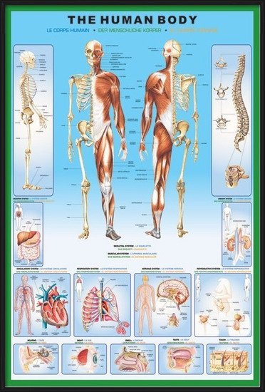 Plakat  The human body