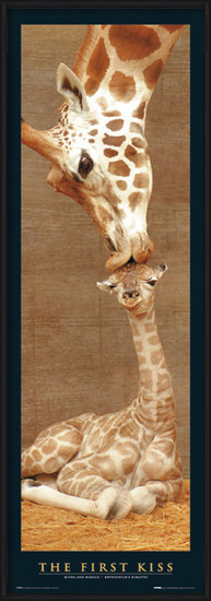Plakat The first kiss - giraffes